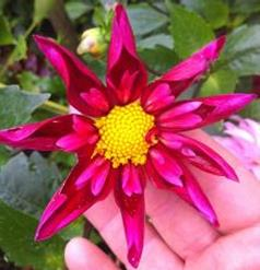 Rivers Dahlias, dahlia tubers for sale, star dahlia
